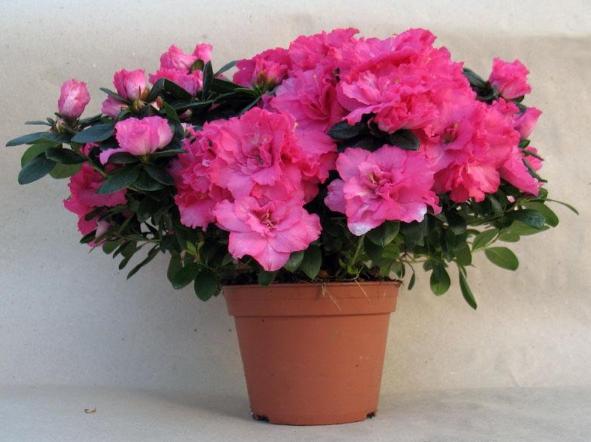 Комнатные растения для очистки воздуха Азалия