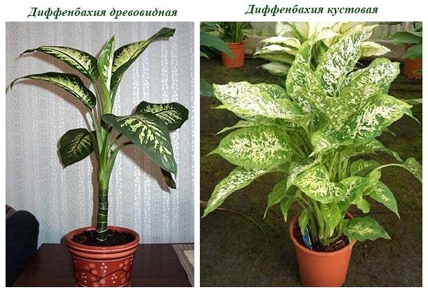 Комнатные растения для очистки воздуха Диффенбахия