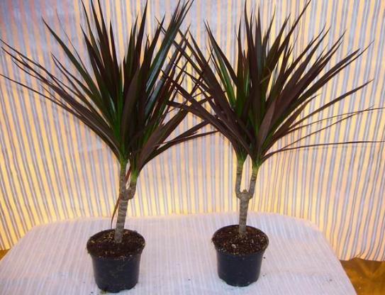 Комнатные растения для очистки воздуха Драцена