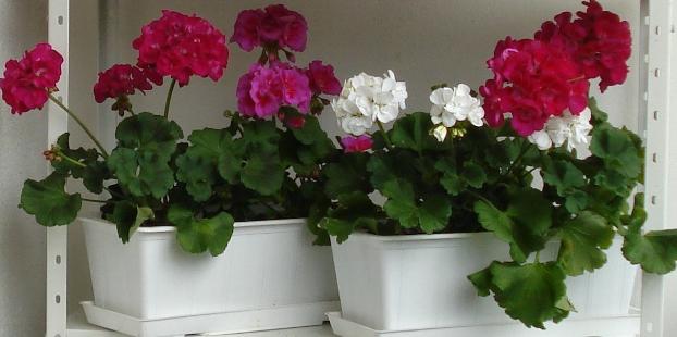 Комнатные растения для очистки воздуха Герань