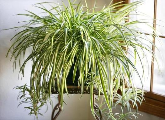 Комнатные растения для очистки воздуха Хлорофитум