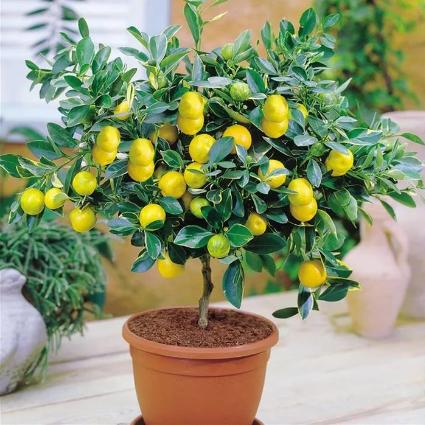 Комнатные растения для очистки воздуха Цитрусы