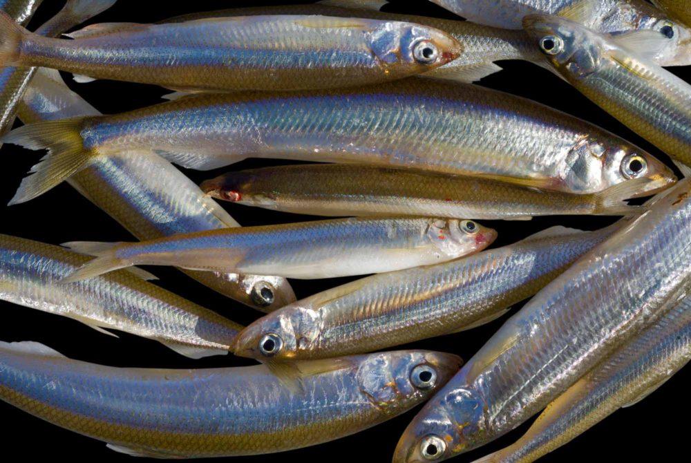 Рыба корюшка: польза и вред